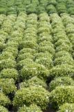 Gardenia Bushes in a nursery Stock Photography