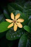 Gardenia carinata wallich flower with fresh water royalty free stock image