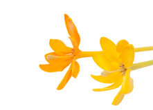 Gardenia carinata wallich flower isolated Royalty Free Stock Image