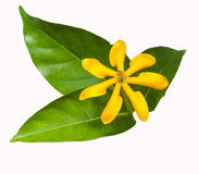 Gardenia carinata wallich flower with leaf Stock Image
