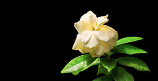Gardenia Stock Photos