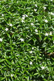 Gardenia Crape Jasmine with green leaves Royalty Free Stock Photo