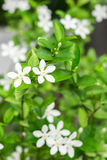 Gardenia flower Stock Images