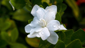 Gardenia Flower Blooming Photo libre de droits
