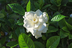 Gardenia flower. In foreground surrounded by green leaves royalty free stock photos