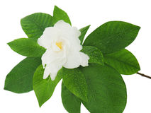 Gardenia flower (Gardenia jasminoides)  on white backgro Royalty Free Stock Photography