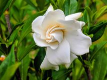 Gardenia Flower stock image