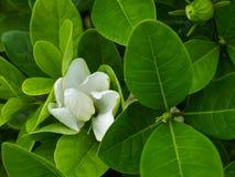 Gardenia Flower grande Imágenes de archivo libres de regalías