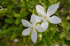 Gardenia flower Stock Photos