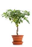 Gardenia in Flower Pot Stock Images