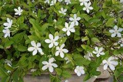 Gardenia flower on tree Stock Photo