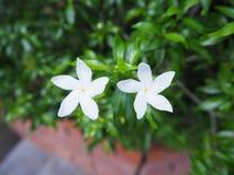 Gardenia Flowers blanche Images libres de droits