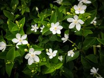 Gardenia Flowers Blooming. The Gardenia Flowers Blooming in The Gardenia Field royalty free stock images