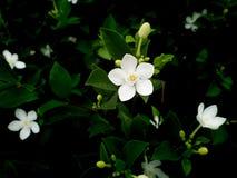 Gardenia Flowers Blooming. The Gardenia Flowers Blooming in The Gardenia Field stock photos