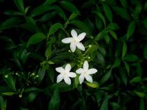 Gardenia Flowers Blooming. The Gardenia Flowers Blooming in The Gardenia Field stock photo