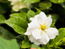 Gardenia (Gardenia jasminoides). Close-up of Gardenia (Gardenia jasminoides) with water drop royalty free stock photos