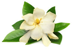 Gardenia or Gondhoraj flower Stock Images