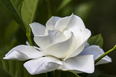 Gardenia. Image of a Gardenia Blossom royalty free stock photos