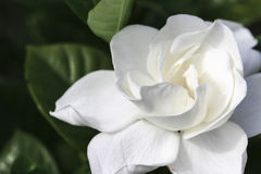 Gardenia. Image of a Gardenia Blossom royalty free stock photography