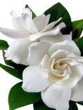 gardenia isolerat s Arkivfoto