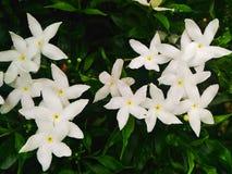 Gardenia jasminoides  Στοκ εικόνα με δικαίωμα ελεύθερης χρήσης