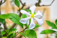 Gardenia jasminoides ή jasmine ακρωτηρίων Στοκ εικόνα με δικαίωμα ελεύθερης χρήσης