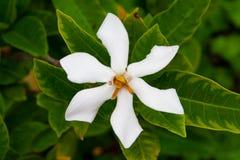 Gardenia jasminoides στοκ φωτογραφία με δικαίωμα ελεύθερης χρήσης