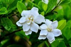 Gardenia jasminoides Στοκ εικόνες με δικαίωμα ελεύθερης χρήσης