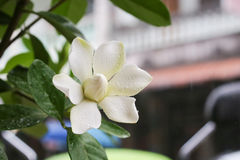 Gardenia jasminoides. With dew drops royalty free stock photography