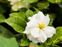Gardenia (jasminoides di Gardenia) Fotografie Stock Libere da Diritti