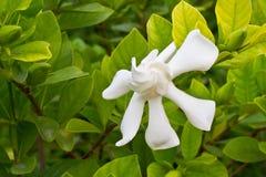 Gardenia jasminoides flower Stock Photos