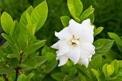Gardenia jasminoides flower. On leaves background royalty free stock image