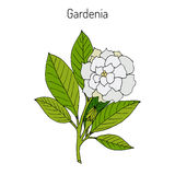 Gardenia jasminoides, gardenia Stock Photos