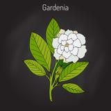 Gardenia jasminoides, gardenia Royalty Free Stock Photography