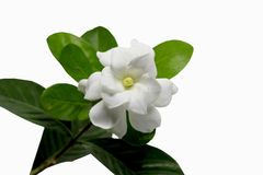 Gardenia jasminoides Royalty Free Stock Photo