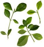 Gardenia lämnar isolerat på vit Fotografering för Bildbyråer