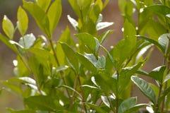 Gardenia leaves background. Foliage of a gardenia bush royalty free stock photos