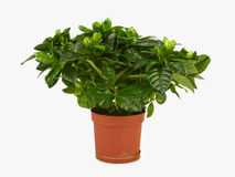 Gardenia plant. In a pot isolated on white background stock image