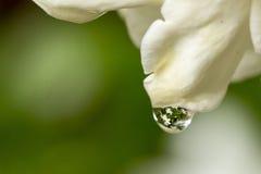 Gardenia Reflection Royalty Free Stock Photography
