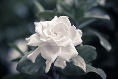 Gardenia Royalty Free Stock Photo
