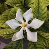 Gardenia Royalty Free Stock Photography