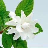 Gardenia Royalty Free Stock Photo