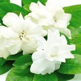 Gardenia royalty free stock photography