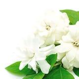 Gardenia Stock Image