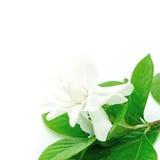 Gardenia Stock Images