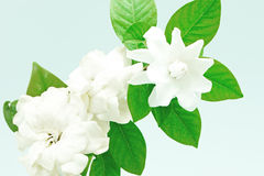 Gardenia Royalty Free Stock Photos