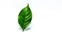 Gardeniablad Royalty-vrije Stock Afbeeldingen