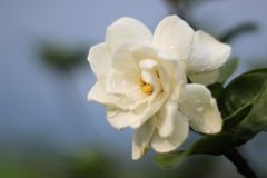 Gardeniabloem stock fotografie