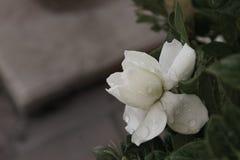 Gardeniablomma 6 Royaltyfri Fotografi