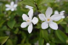 Gardeniablomma på gräsplan fotografering för bildbyråer